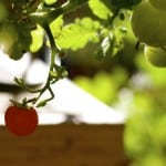 Health Trivia: Why Every Cook Should Be Growing Tomatoes