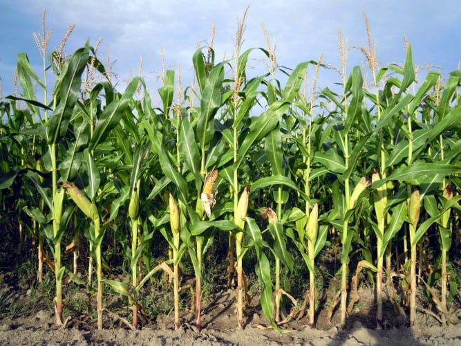 What Can I Grow In Corn Beds