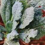 Fit for Fall: How to Grow Kale